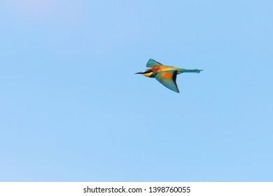 European Bee-Eater In Flight (Merops Apiaster)
