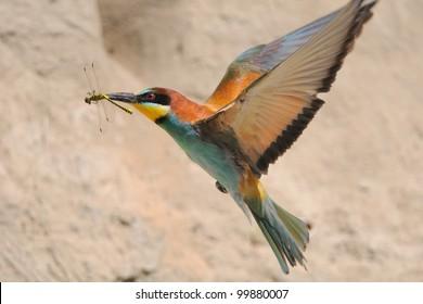 European Bee-eater  (Merops apiaster) in flight with prey