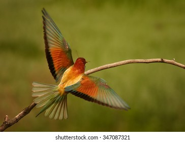 European Bee-eater Merops apiaster landing on branch, rear view with outstreched wings and green distant background. South Moravia, Czech republic.