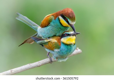 European bee-eater (Merops apiaster) - Love
