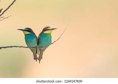European bee-eater (Merops apiaster) Malaga, Spain