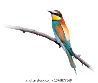 The European Bee-eater (Merops apiaster) is a near passerine bird in the bee-eater family Meropidae. On white background.