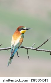 European Bee-eater (Merops Apiaster) perched on a branch.  Beautiful bird in a semi-desert environment with soft greenish background. Georgia