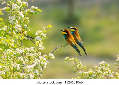 European Bee-eater (Merops apiaster) perching on a flowering tree during spring