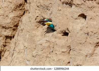 European Bee-eater (Merops apiaster). Russia, the Ryazan region (Ryazanskaya oblast), the Pronsky District, Denisovo.