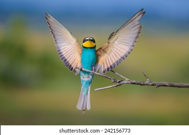 the European bee-eater with open wings, perched on twig