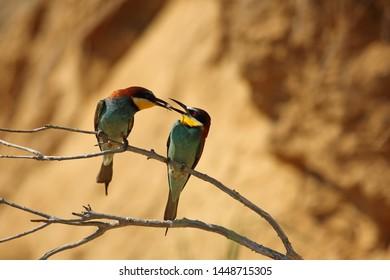 European bee-eater pair is feeding on branch