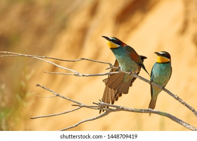 European bee-eater pair morning on branch