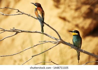 European bee-eater pair near nesting cavity