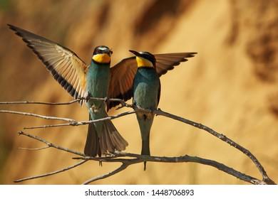 European bee-eater pair on branch