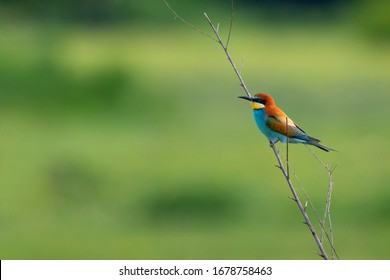 The European bee-eater sits on dry straw. Wild bird from Kerkini lake in Greece.