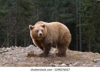 European big brown bear in a edge of mountains coniferous forest.