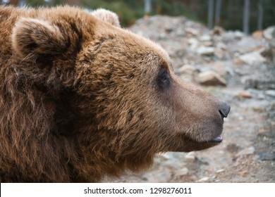 European big brown bear head portrait profile.