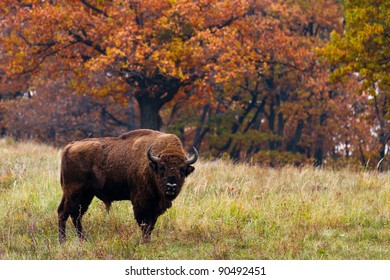 European bison in Autumn,  Latin: Bison bonasus