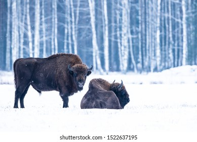 European bison in Bialowieza forest in Poland