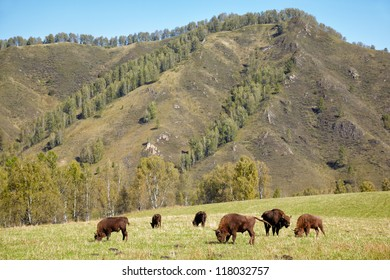 European bison Bison bonasus in Altai natural environment