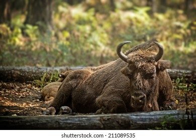 European bison (Bison bonasus) with calf in forest, Prioksky-terraced reservation, Russia