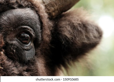European bison (Bison bonasus)  - eye close up