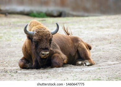 The European bison (Bison bonasus), also known as wisent (/ˈviːzənt or the European wood bison lying on sand in zoo.