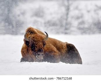 European bison (Bison bonasus) in natural habitat in winter