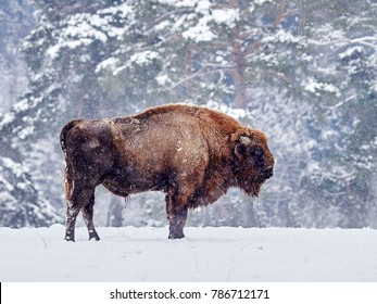 European bison (Bison bonasus) in natural habitat in winter
