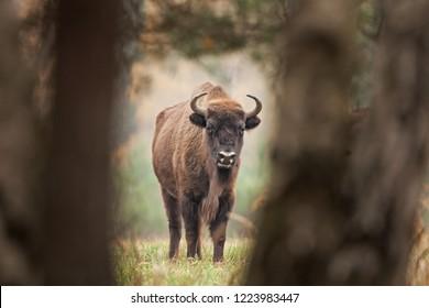 European bison, bison bonasus, Ralsko