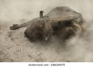 European bison (Bison bonasus) rolling in the dust