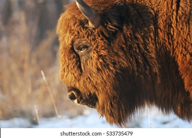 European Bison, Bison bonasus, Visent, herbivore in winter, herd, Slovakia