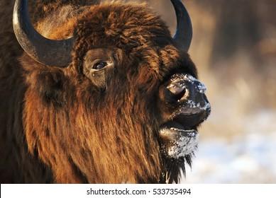 European Bison, Bison bonasus, Visent, herbivore in winter, herd, Slovakia