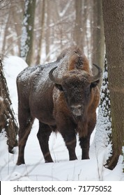 European bison bull in the Bialowieza Forest