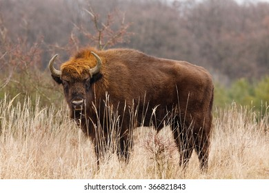 European bison close up