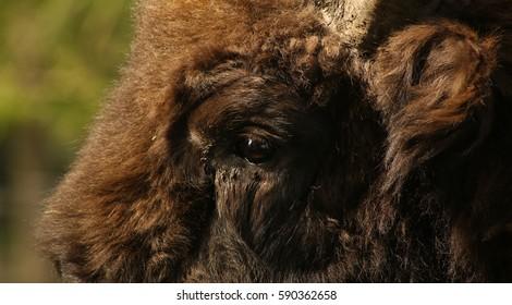 European Bison, close up.