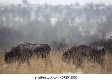European bison couple walking in grassland.