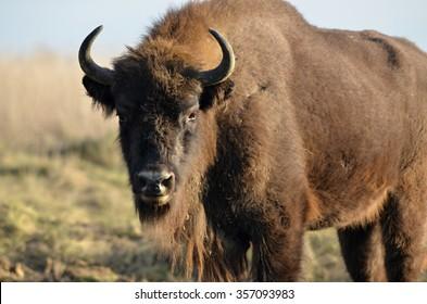 European bison in Czech Republic