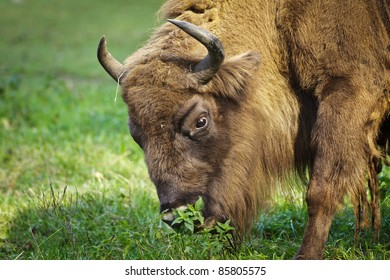 European bison eating grass in the meadow