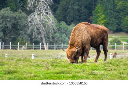 European bison grazing in a reservation located in the Carpathian Mountains, Romania, Eastern Europe. Full body view and details of a Bison Bonasus. Beautiful aurochs.