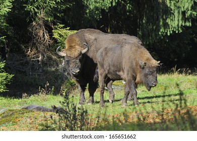 European Bison herd in the fall, on a meadow.