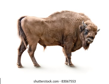 european bison isolated on white background