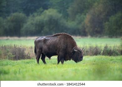 Bison d'Europe dans le Parc national de Białowieża. Immense mâle sur le pâturage. Bison hors de la forêt. Bison sauvage en Pologne.  L'automne dans la faune.