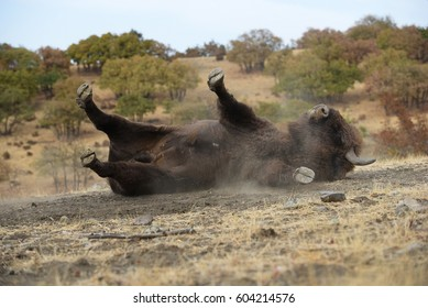European bison rolling in the dust