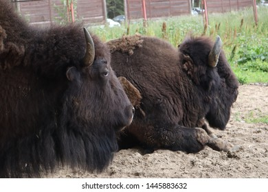 European bison, Saint-Petersburg, Toksovo. Forest bison male also knon as european bison or wisent. Latin name - Bison bonasus