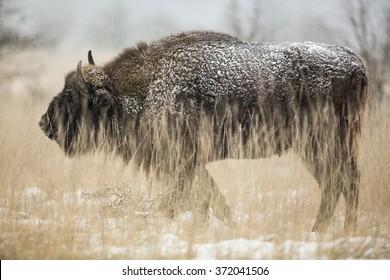 European bison standing in grassland.