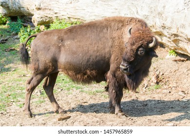 A European bison stands alone.  It is one of two extant species of bison. European bison were hunted to extinction in the wild in the early 20th century.