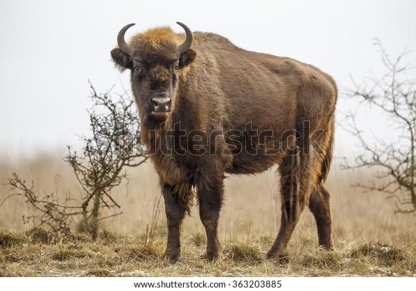 European bison stands on the horizon