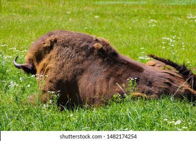 European bison, European bison, summer herbivore, animals.