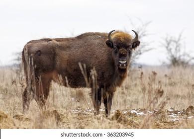 European bison very close