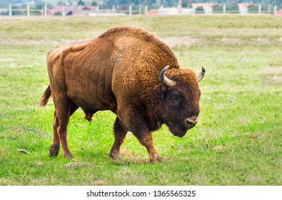 European bison walking in the Carpathian Mountains, Romania, Eastern Europe. Large male Aurochs complete body view in an animal reservation. Wisent close up.