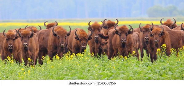 European bison. Wild herd of animals. Wood bison. Wisent. Bison bonasus.