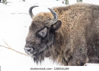 European bison in the winter