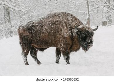 european bison in winter